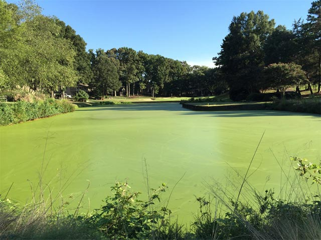 Algae on pond due to excessive nutrients